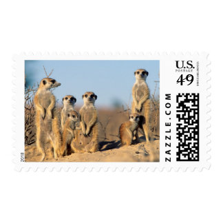 A Suricate family sunning themselves at their den Postage