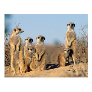 A Suricate family sunning themselves at their den Postcard