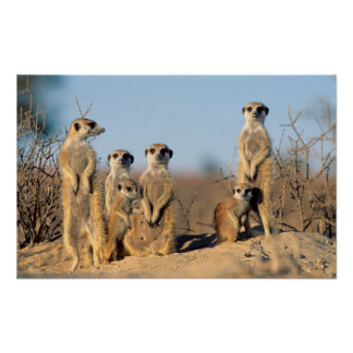A Suricate family sunning themselves at their den Poster