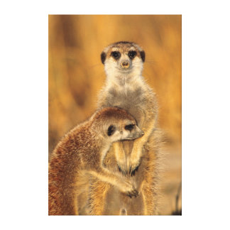 A Suricate mother and young interacting Canvas Prints