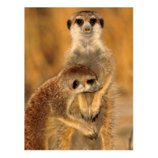 A Suricate mother and young interacting Postcard