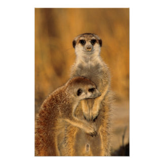 A Suricate mother and young interacting Poster