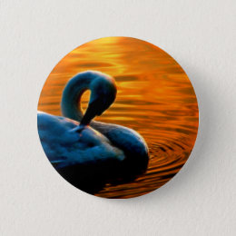 A Swan Taking a Last Minute Swim at Sunset Pinback Button
