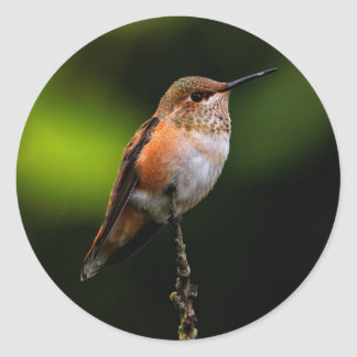 A Sweet Rufous Hummingbird Poses on the Fruit Tree Classic Round Sticker