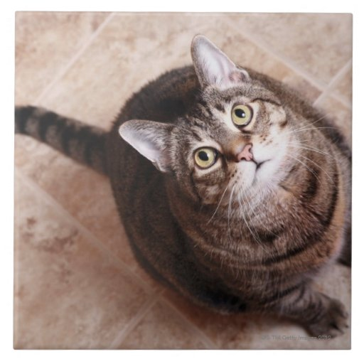 A tabby cat looking up ceramic tile