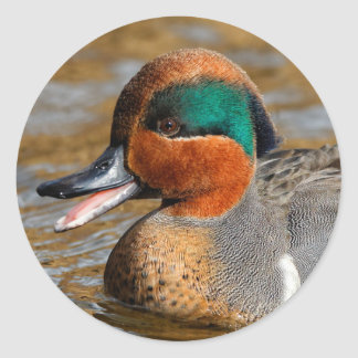 A Talkative Green-Winged Teal Classic Round Sticker