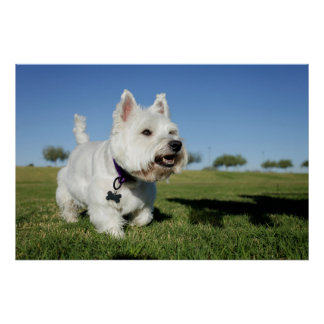 A Terrier playing out in the field Poster