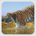 A Tiger loves water Square Sticker