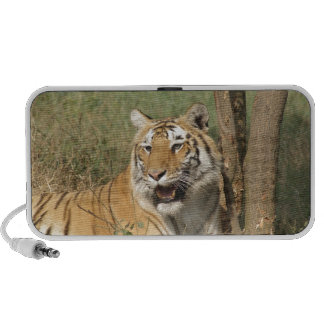 A tiger lying casually yet alert speaker system