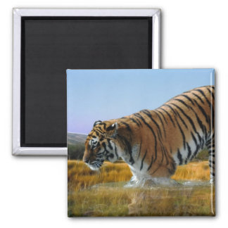 A Tiger wading into water Magnet