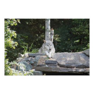 A Timber Wolf at Rest. Poster