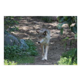 A Timber Wolf Traveling. Print