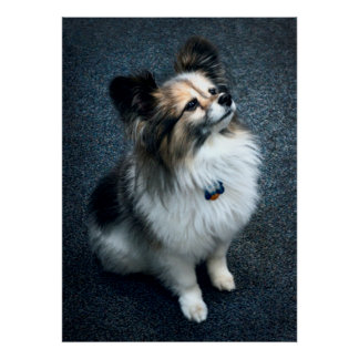A TINY PAPILLON BREED DOG POSTER