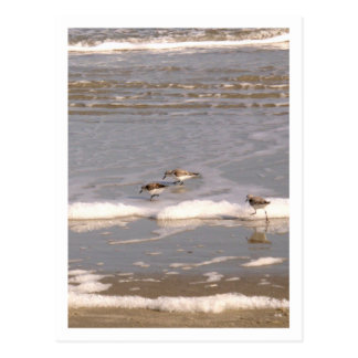 A Trio of Sandpipers Postcard