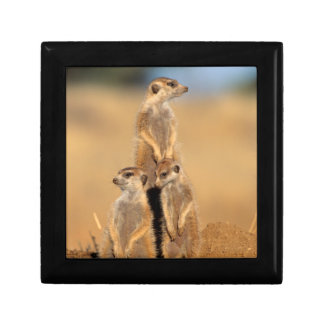A trio of Suricates sunning at their den Jewelry Box