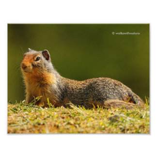 A Twitchy-Nosed Columbian Ground Squirrel Photo Print
