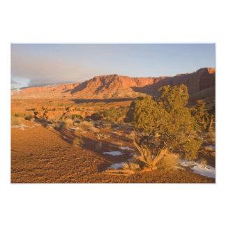 A Utah Juniper Juniperus osteosperma) tree in 2 Photo Print