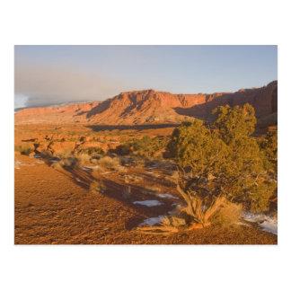 A Utah Juniper Juniperus osteosperma) tree in 2 Postcard