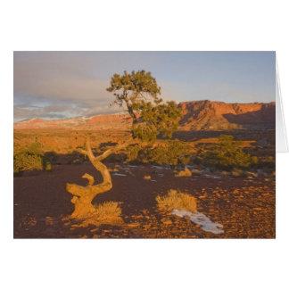 A Utah Juniper Juniperus osteosperma) tree in Card