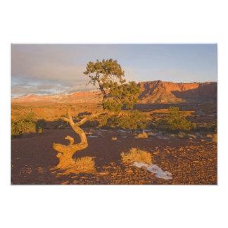 A Utah Juniper Juniperus osteosperma) tree in Photo Print
