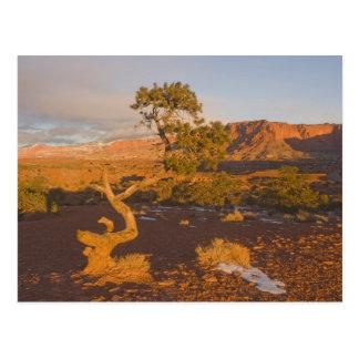 A Utah Juniper Juniperus osteosperma) tree in Postcard