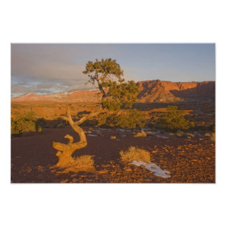 A Utah Juniper Juniperus osteosperma) tree in Poster