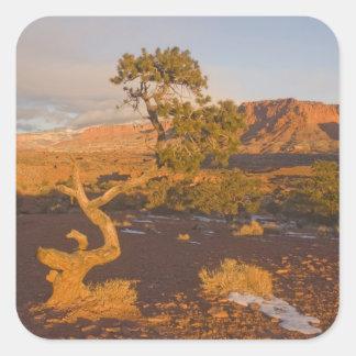 A Utah Juniper Juniperus osteosperma) tree in Square Sticker