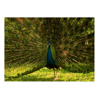a very colorfull peacock spreading feathers large business cards (Pack of 100)