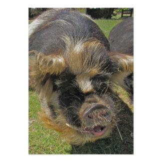 A Very Furry Pig Poster