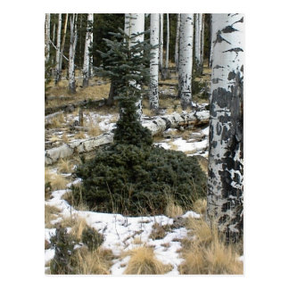 A Very Odd Blue Spruce Normal At The Top But Bush Postcard