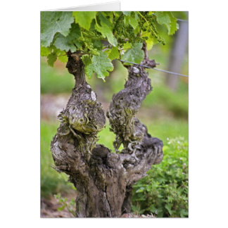 A very old vine in the Clos de l'Echo vineyard Card