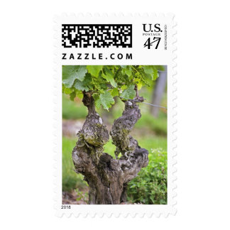 A very old vine in the Clos de l'Echo vineyard Postage