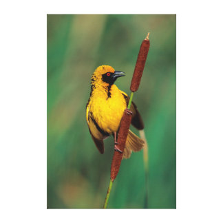 A Village Weaver calling while perched on a reed Canvas Print