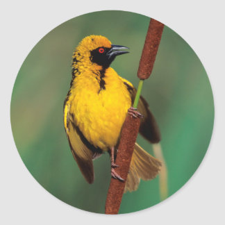 A Village Weaver calling while perched on a reed Classic Round Sticker