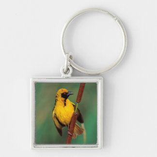 A Village Weaver calling while perched on a reed Keychain