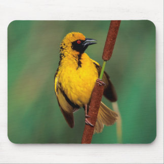 A Village Weaver calling while perched on a reed Mouse Pad
