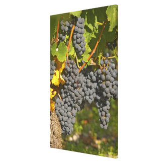 A vine with ripe Merlot grape bunches - Chateau Canvas Print