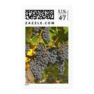 A vine with ripe Merlot grape bunches - Chateau Postage