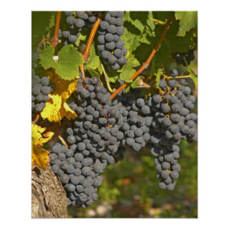 A vine with ripe Merlot grape bunches - Chateau Poster