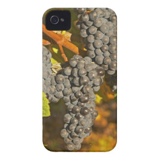 A vine with Ripe Merlot grape bunches on the iPhone 4 Case-Mate Cases