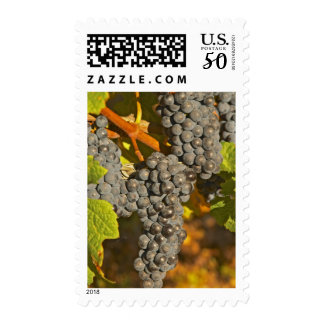 A vine with Ripe Merlot grape bunches on the Postage