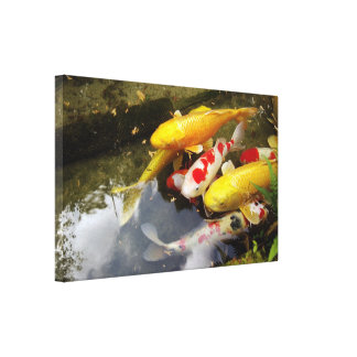 A waterway full of Japanese koi carps Gallery Wrapped Canvas
