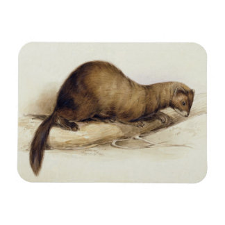 A Weasel, 1832 (w/c, pen, ink, gouache and gum ove Magnet