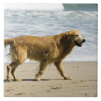 A wet dog at the beach. ceramic tiles