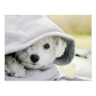 a white dog wearing a hood of shirt postcard