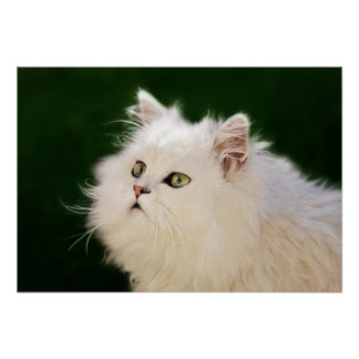A white kittens fascination poster