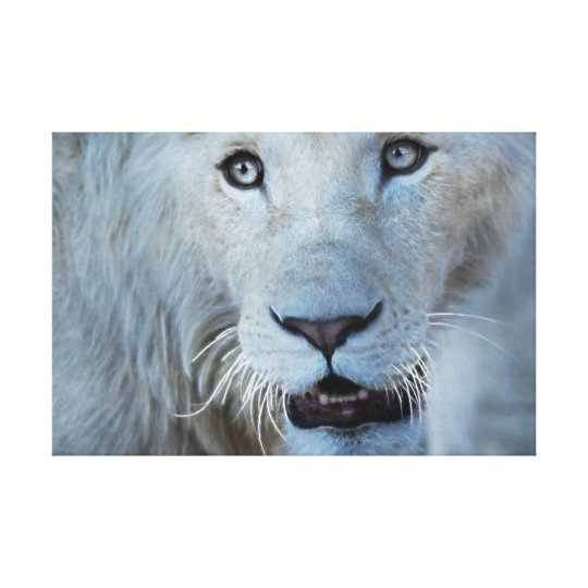 A White Lion in South Africa Canvas Print
