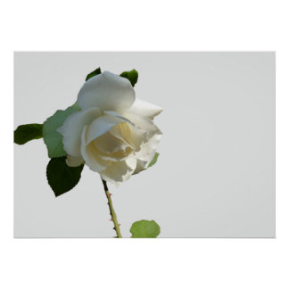 a white rose poster