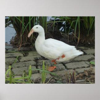 A white unique ducks at a pond poster