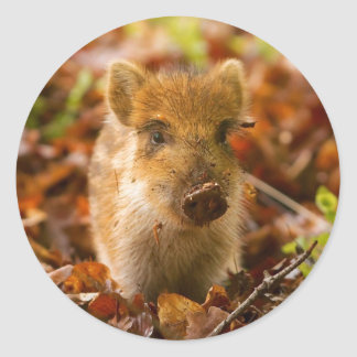 A Wild Boar Piglet Sus Scrofa in the Autumn Leaves Classic Round Sticker